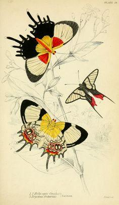 Foreign butterflies / - Biodiversity Heritage Library: Butterfly, Vintage, Butterflies, Art, Foreign Butterflies, Insects, N220 W1150, Botanical, Photo
