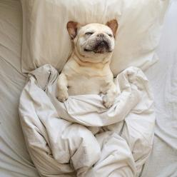 // fourfrenchies: Animals, Puppies, French Bulldogs, Bed, Pets, Puppy, Frenchie, Morning, Friend
