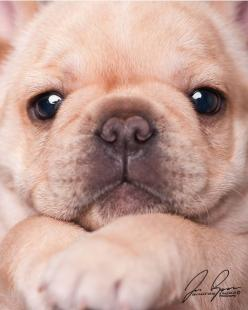 frenchie face ... ohhh my heavens!!!! Limited Edition French Bulldog Tee http://teespring.com/lovefrenchbulldogs: Baby Frenchie, French Bulldogs, Pet, Puppy Face, Adorable Frenchie, Frenchies ️, Animal