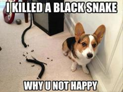 funny animals with captions | 30 Funny animal captions - part 8, funny animal meme, animal pictures ...: Funny Animals, Dogs, Not Happy, Corgi, Funny Stuff, Funnies