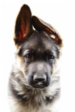 German Shepherd pup - I love the way German Shepherd puppies have such big ears and paws that the rest of them has to grow into :D): Germanshepherd, Animals, Dogs, Pet, German Shepherds, German Shepherd Puppies, German Shepard
