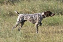 German shorthair pointer!: Hunting Dogs, Shorthaired Pointers, Shorthair Pointer, German Shorthaired Pointer, Gsp, Animal
