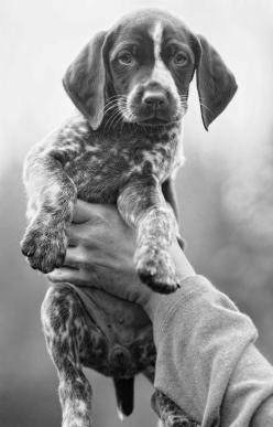 German Shorthair Pointer puppy. We saw some of these puppies for sale recently and it took everything in me not to bring one home! So sweet <3: German Shorthair Pointer Puppy, Sweet, German Shorthair Pointers, German Shorthaired Pointers, German Pointe