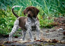 German shorthaired pointer by Villi.Ingi, via Flickr: Hunting Dogs, Shorthaired Pointers, Shorthair Pointer, German Shorthaired Pointer, German Pointer, Pointer Pup, Gsp, Animal