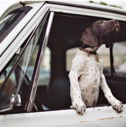 German Shorthaired Pointer #gsp: Animals, Dogs, German Shorthaired Pointer, Puppy, Graham Yelton, Photo, Gsp, Friend