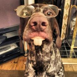 German Shorthaired Pointer..  SUCH great, patient dogs.  Then let them outside and watch a show. 'o)  The perfect well rounded dog. <3: Shorthaired Pointers, Dogs, German Shorthaired Pointer, German Pointer, German Short Haired Pointer, Funnies, Po