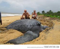 Giant Leatherback sea turtle…: Amazing, Animals, Nature, Seaturtles, Giant Leatherback, Photo, Sea Turtles, Leatherback Sea, Leatherback Turtle