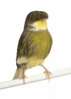 Gloster Canary - Birds with bowl cuts :): Favorite Birds, Animals Gloster Canaries, Kanarie Birds, Bird Illustrations, Bowl Cuts, Canary Birds