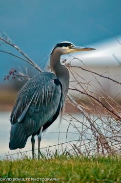 Great blue herons are common near open water and wetlands over most of North and Central America, as well as the Caribbean and Galápagos Islands. They are, however, only rare vagrants to Europe.: Open Water, Art, Water Birds, Beautiful Birds, Animals Bird