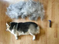 "Great tips on brushing to get rid of that extra ""Fluff,"" we all love on our corgis. http://justcorgi.com/blog/how-to-brush-corgi-double-coat/: Fluffy Animals, Funny Animals, Corgis, Dogs, Adorable Animals, Fluffiest Animals, Hairs, Pets Animal, Th"