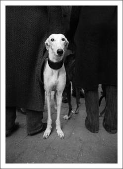 greyhounds...amazing animals! love mine forever <3: Animals, Greyhounds, Dogs Photography, Dog Portraits, Dog Items, Whippets, Beautiful Dogs, Friend