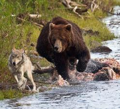 Grizzly Bear | plucky wolf flees after attempting to join a giant grizzly bear for ...: Animals, Wolf, Bears, Funny Stuff, Humor, Wolves, Shit, Moon Moon