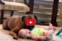 Hearing a child's laughter stirs inside us one of the most amazing emotions. And there's nothing quite like the laugh of this baby, she watches her pet dog eat popcorn. You're going to die from laughter too,: Baby Watches, Baby S Belly, Animals, Pet Dogs,