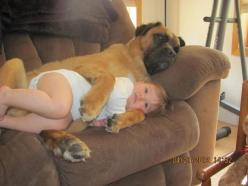 "Hey @Kristy Poole! I see Tank & Roxy like this in the future. ;-)  A pinner wrote, ""This is Alexus, and Cassius, a 7-year-old bull mastiff and Alexus' best snuggle mate. Happiness is a warm dog."": Animals, Dogs, Stuff, Pet, Funnies, Baby, Funn"