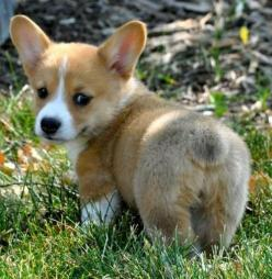 Hey you! Have an AMAZING day and stay sassy. Keep smiling because the best is yet to come. @Sarah Wunnicke: Corgis, Animals, Dogs, Pet, Corgi Butt, Funny, Puppy, Fluffy Butt