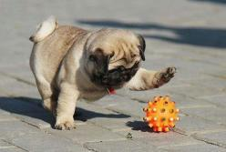 Holy crap holy crap!!! Can I just reach in there and get him!!???? PLEASE??!!!: Animals, Pug Puppies, Dogs, Pug Life, Playful Pug, Pugs, Plays