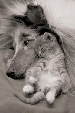 Home is not a home without a cat and a dog. A home where they get along so well- is a perfect home.: Cats, Kitten, Animals, Sweet, Dogs, Friends, Pets, Adorable