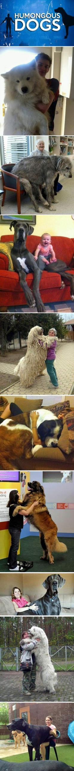 Humongous Dogs… I want them all!: Great Danes, Huge Dogs, Humongous Dogs I, Puppy, Irish Wolfhound, Big Dogs, Dogs Love, Animal