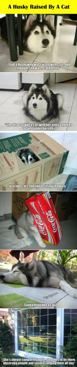 Husky raised by a cat. Hahaha the last one!: Cutest Husky Puppies, Funny Husky, Kitty Cat, Friendly Cat, Funny Animal, Puppies Huskies, Huskies Puppies