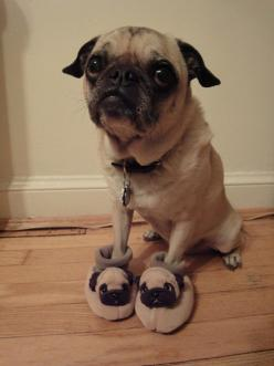 I'm thinking this pug is anorexic... put my puggle and nephew pug to shame, but super cute nonetheless =): Animals, Dogs, Pets, Funny, Puppy, Things, Pug Slippers, Wearing Pug, Pugslippers