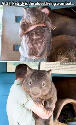 I absolutely love wombats so much!!!!!: Living Wombat, Animals, Oldest Living, Biggest Wombat, Stuff, Pet, Oldest Wombat