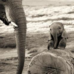 I can't even begin to explain how excited I am to be going to Thailand to work with elephants next summer! :D: Babies, Cuteness, Sweet, Baby Elephants, Pet, Beautiful, Things, Baby Animals, Smile