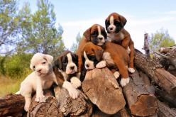 I can not wait to own one of you!! (Boxer puppies) ♥: Animals, Boxer Dogs, Boxer Pups, Boxer Puppies, Pets, Puppys, Boxers, Photo, Furry Friends
