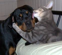 I lick u..now u r mine now 4 ever..u can't leave me. we r glued my by kissy lick 2 your face.. tat just great kitty: Cats, Kiss, Animals, Sweet, Dogs, Pets, Adorable, Animal Friends, Rottweiler