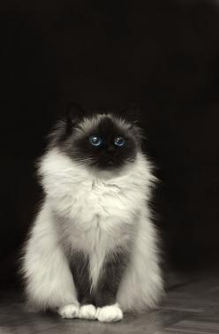 I love Birman cats. They are said to have the soul of a Burmese monk.: Kitty Cats, Kitten, Animals, Beautiful Cats, Birman Cat, Pet, Kitty Kitty, Kitties, Eye