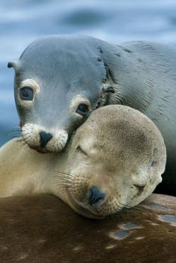 I love seals so much, look how precious, and people who club them are worthless pieces of $h*t and should be clubbed themselves. They don't deserve to live.: Seals, Animals, Cuteness, Sea Life, Sweet, Animal Kingdom, Sea Lions, Baby Seal