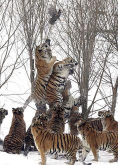 """I truly hope that this little bird escaped.  I counted at least 12 Tigers all waiting and wanting a taste of this little bird, which wouldn't even serve as a morsel.  Look at all of those """"Bad Boys!"""" Truly Beautiful!"""