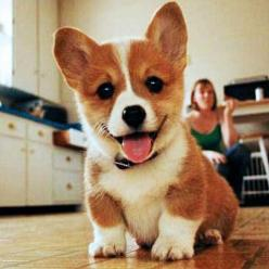If I don't get a corgi for Christmas or my Birthday one year I will be forever disappointed in the people that surround me!!: Corgis, Animals, Dogs, Mondays, Corgi Puppies, Pets, Puppys, Things, Smile