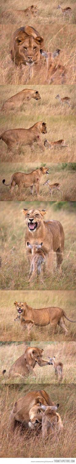 If I ran the world, this is how all of nature would operate.: Lionesses, Babies, Animals, Big Cats, Lioness Adopts, Creature, Baby Gazelle, Adopts Baby, Lion Adopts