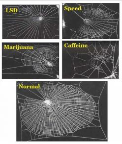 In 1995 a group of NASA scientists studied the effects of various legal & illegal drugs on house spiders, specifically on the way they weave their webs.    The spider high on marijuana did an ok job weaving, but then got bored/distracted & didn&#3