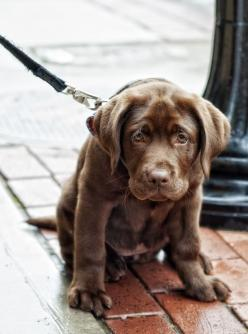 It's going to be hard to go past a chocolate lab when it comes to choosing our next pet....: Animals, Dogs, Chocolate Labs, Pet, Puppys, Lab Puppies, Labrador, Friend