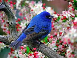 It's great living here but I miss my other self. I love my cage but I miss my other home. The cage is big and neat. Someone always comes to clean up, ...: Animals, Nature, Color, Beautiful Birds, Photo, Indigo Bunting
