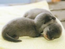 Just a couple of baby otters: Babies, Adorable Animals, Baby Otters, Pet, Baby Animals, Babyotters, Sea Otters, Otter Babies