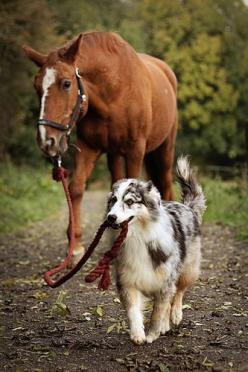 Just taking my horse for a walk.chickensBrought to you by Cookies In Bloom and Hannah's Caramel Apples   www.cookiesinbloom.com   www.hannahscaramelapples.com: Animals, Dogs, Border Collie, Horses, Pet, Australian Shepherd, Walk, Friend, Aussie
