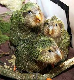 **Kakapo - One of the rarest birds of all is New Zealand's kakapo. which is flightless Only 124 animals remain in the wild—the species has been largely wiped out by introduced predatory mammals such as feral cats.: Predatory Mammals, Rarest Birds, End