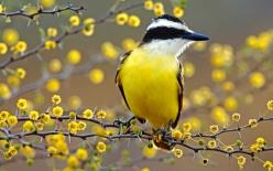 Kiskadee, Nicoya Peninsula, Costa Rica: Animals, Costa Rica, Beautiful Birds, Photo