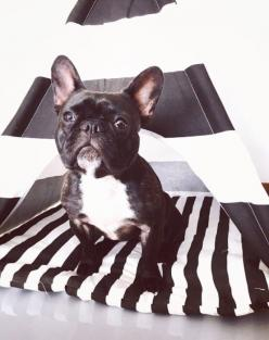 Lancelot, a French Bulldog Puppy, in a Black & White Stripe Teepee, by Pipolli.: Animals, French Bulldogs, Teepee Pipolli, Stripe Teepee, Animal Friends, French Bulldog Puppies, Black White Stripes
