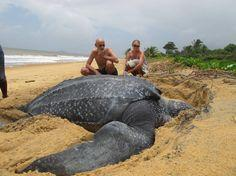 Leatherback Sea Turtle - When This Massive Turtle Opens Its Mouth, You're In For The Surprise Of Your Life   Lumazing: Amazing, Animals, Nature, Seaturtles, Giant Leatherback, Creature, Sea Turtles, Leatherback Sea, Leatherback Turtle