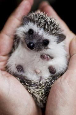 Little Hedgehog.    My friend Cathy found  one of these in her yard .she is on the ivory coast.: Hedge Hog, Adorable Animals, Pets, Creatures, Hedgie, Baby Hedgehogs, Box, Baby Animals