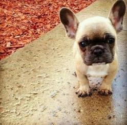 little Jacques, French Bulldog Puppy.: Face, Animals, French Bulldogs, Pet, Frenchbulldogs, French Bulldog Puppies