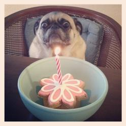 Look at all the excitement in this pug's face. It can barely contain its eyeballs.: Birthday, Animals, Dogs, Funny Stuff, Pugs, Funnies, Humor