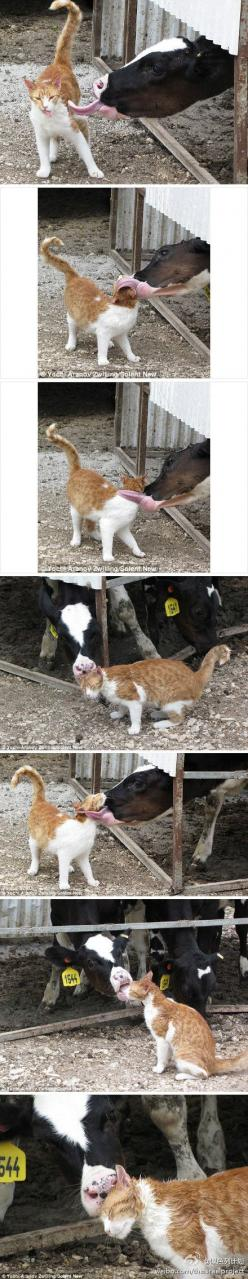 Love is love :)  cat: Cowlick, Aww Kitties, Kitty Cats, Cow Cat Bath, Cats And Dogs, Cow Lick, Animal Funny, Cats Funny, Cat Lady
