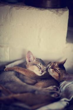 Love is love.: Cats, Abyssinian Kittens, Glenn Weaver, Kitty Cat, Animals, Kitty Kitty, Feline, Photo
