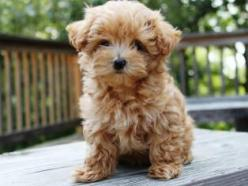 Maltipoo! ITS SO FLUFFY IM GOING TO DIE!! Reminds me of a tiny goldendoodle.: Maltipoo Dogs, Cuteness, Going, Maltipoos, Maltipoo Puppy, Maltipoo Puppies, Friend, Tiny Goldendoodle, Animal