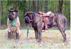 mastiff cowboy!! This could be the greatest pin of all!: Cowboy, Animals, Dogs, Saddle, Horse, Funny, English Mastiffs, Halloween