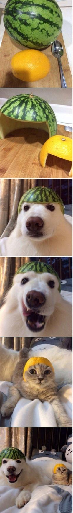 Melonpup Lemoncat < wow, for some reason, this totally cracks my shit up!!! :) >: Funny Animals, Cats, Giggle, Pet, Totoro Pillow, Funny Stuff, Dog, Fruit Helmets